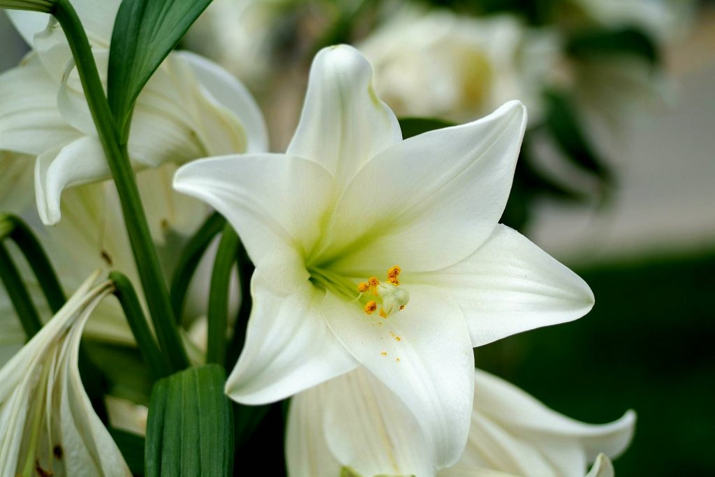 lily-flower-white-candid